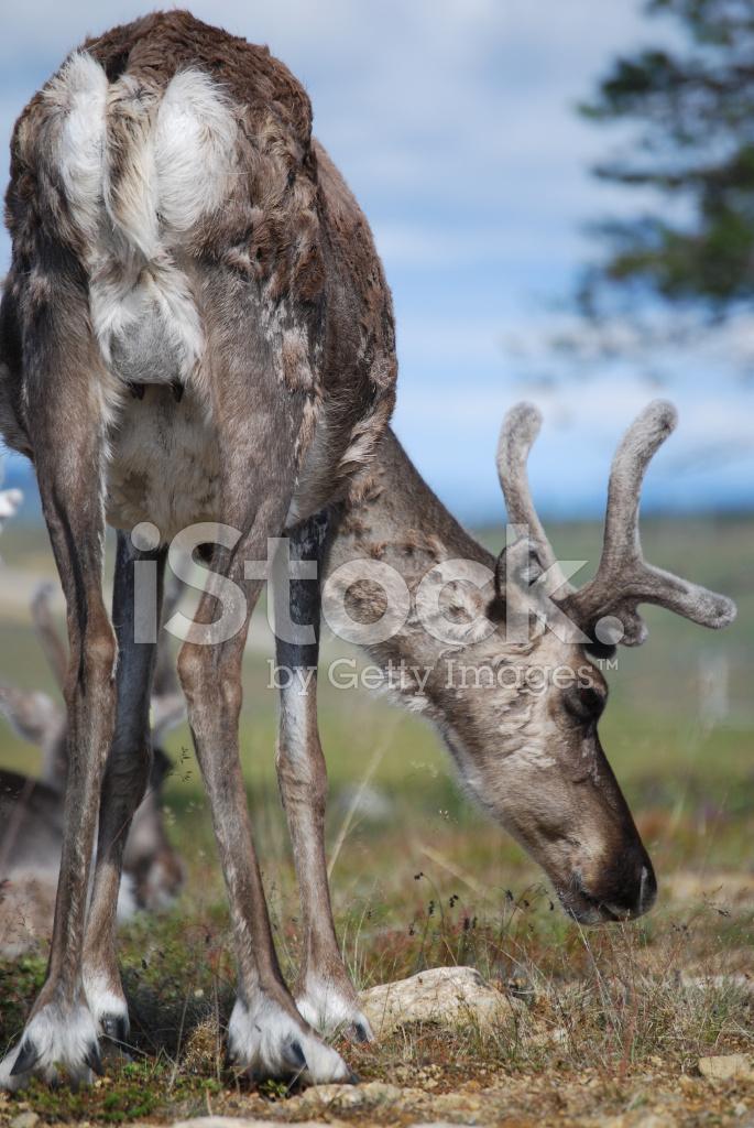Reindeer Grazing Stock Photos - FreeImages.com