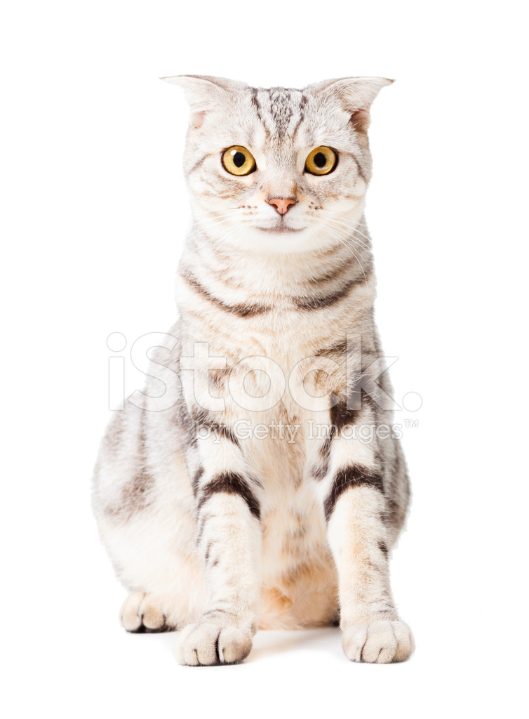 Cute Cat Isolated Over White Animal Stock Photos