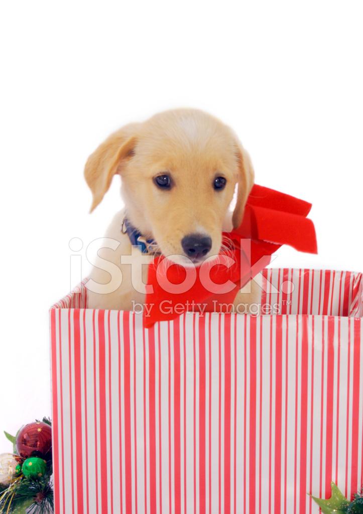 圣诞节 宠物 小狗 狗 金毛寻回犬 礼品 假日 冬季 弓 圣诞纸 包装用纸
