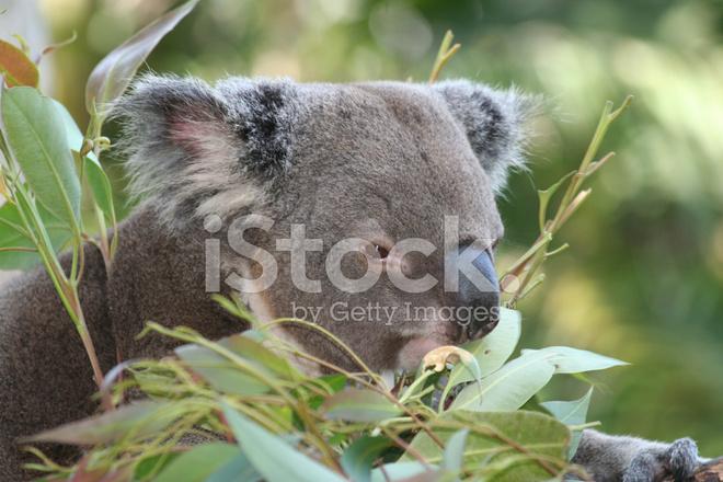 首页 付费图 动物与野生动物 考拉