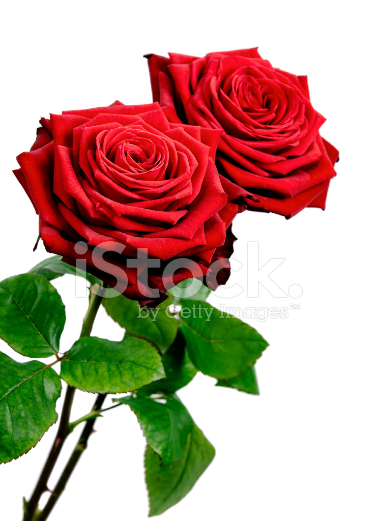 red rose stock photos freeimages com clipart of family gathering clip art of family reunion