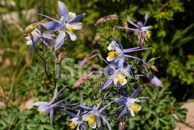Blaue UND Weiße Akelei Blumen Cedar Breaks National Monument ...