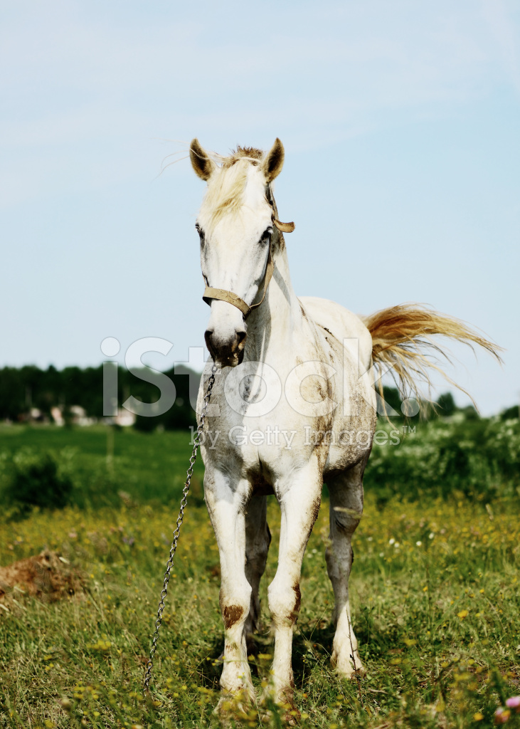 White Horse Standing IN Field Alone stock photos ...