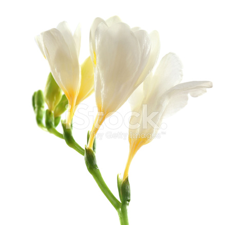 Beautiful freesia flowers isolated on white stock photos beautiful freesia flowers isolated on white mightylinksfo