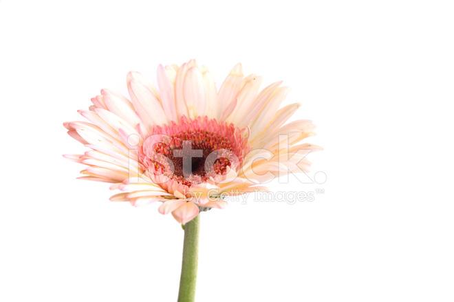 Rose Fleur De Gerbera Isole Sur Fond Blanc Photos Freeimages Com