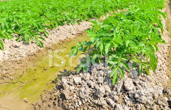 Potato Plant on stock photos - FreeImages.com