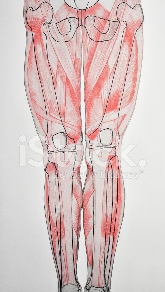 Anatomie: Menschliche Beine Stockfotos - FreeImages.com