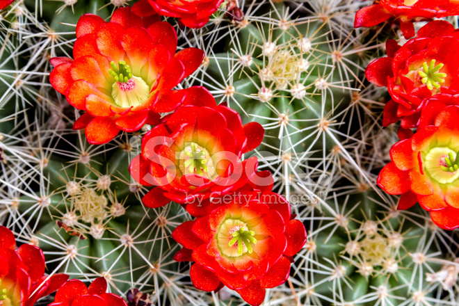 Ile Kırmızı çiçek çiçek Açan Varil Kaktüs Stok Fotoğrafları