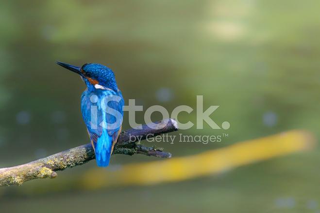 Oiseau Commun De Kingfisher Sur Une Branche Photos Freeimages Com