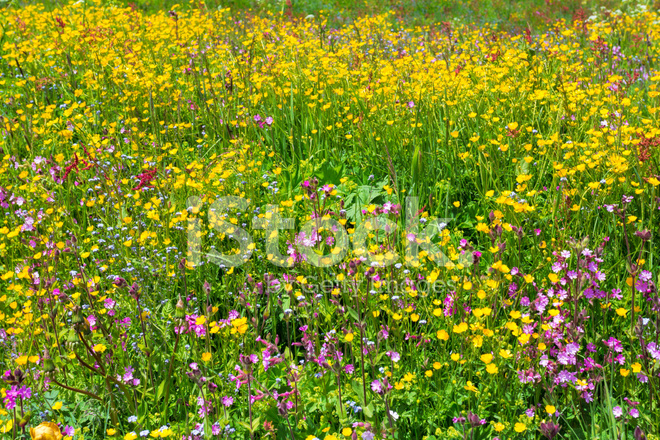 Schöne Blumenwiese Stockfotos Freeimagescom