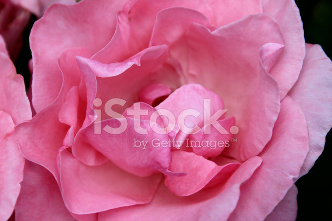 Image Of Pale Pink Roses Rose Flowers Blurred Garden Backgroun