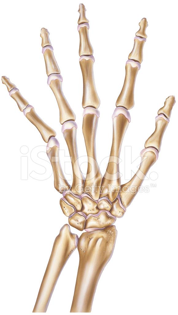Hand Normal Anzeigen, Knochen UND Gelenke Stock Vector - FreeImages.com