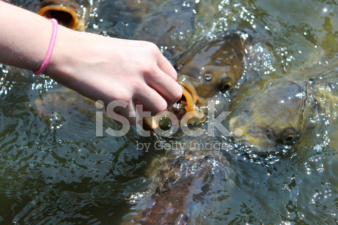 Girl hand feeding friendly common carp feeding koi bread for Feeding koi carp