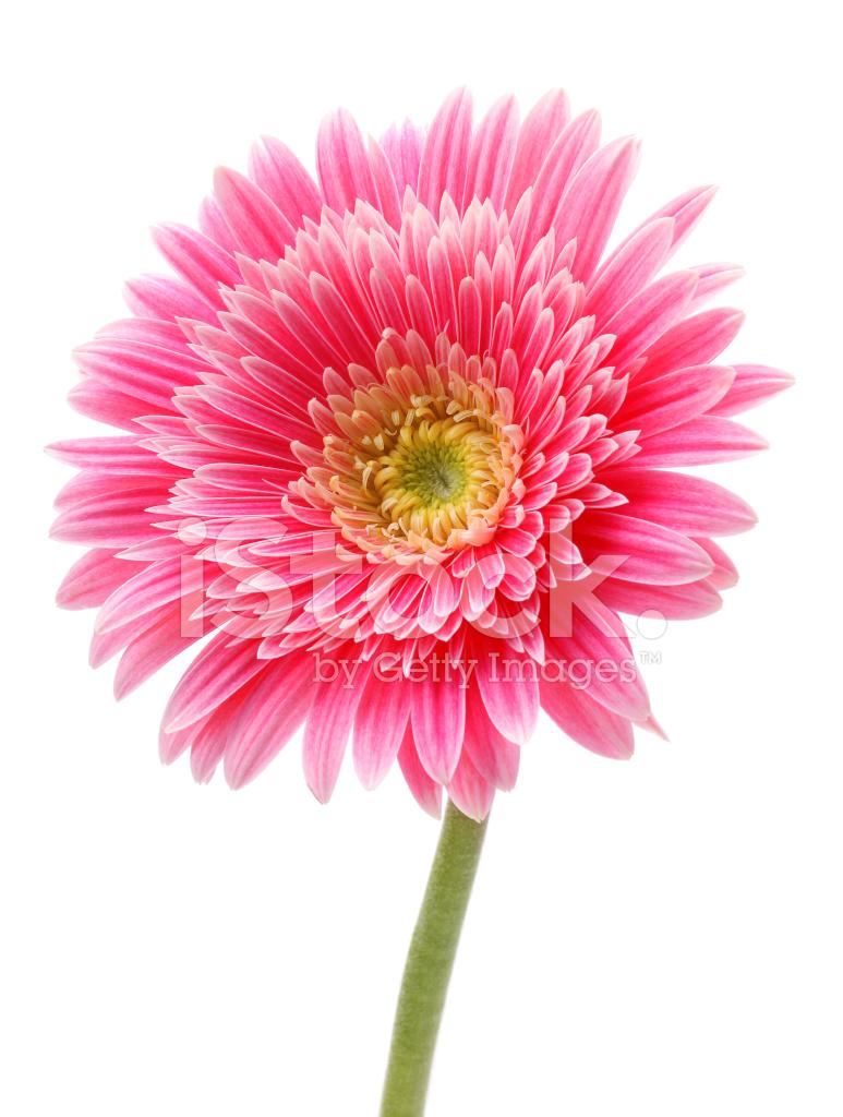 flor de gerbera aislada fotografías de stock freeimages com