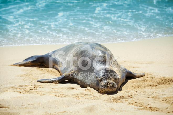 phoque moine hawa en dormir sur la plage de sable de kauai photos. Black Bedroom Furniture Sets. Home Design Ideas