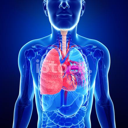 Männliche Lunge Anatomie Stockfotos - FreeImages.com