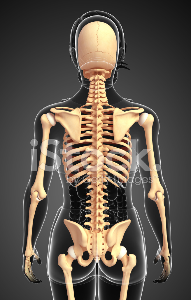 Female Skeleton Back View Stock Photos Freeimages
