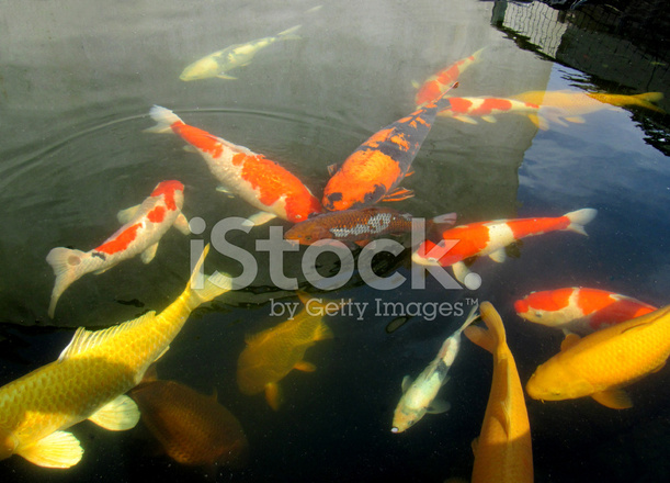 Large koi carp swimming high grade pond fish kohaku for Carpe koi grade a