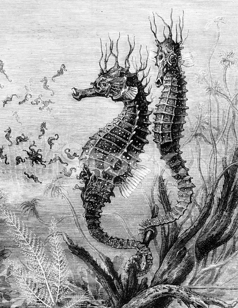 Seahorse Giving Birth To Babies Stock Photos Freeimages Com