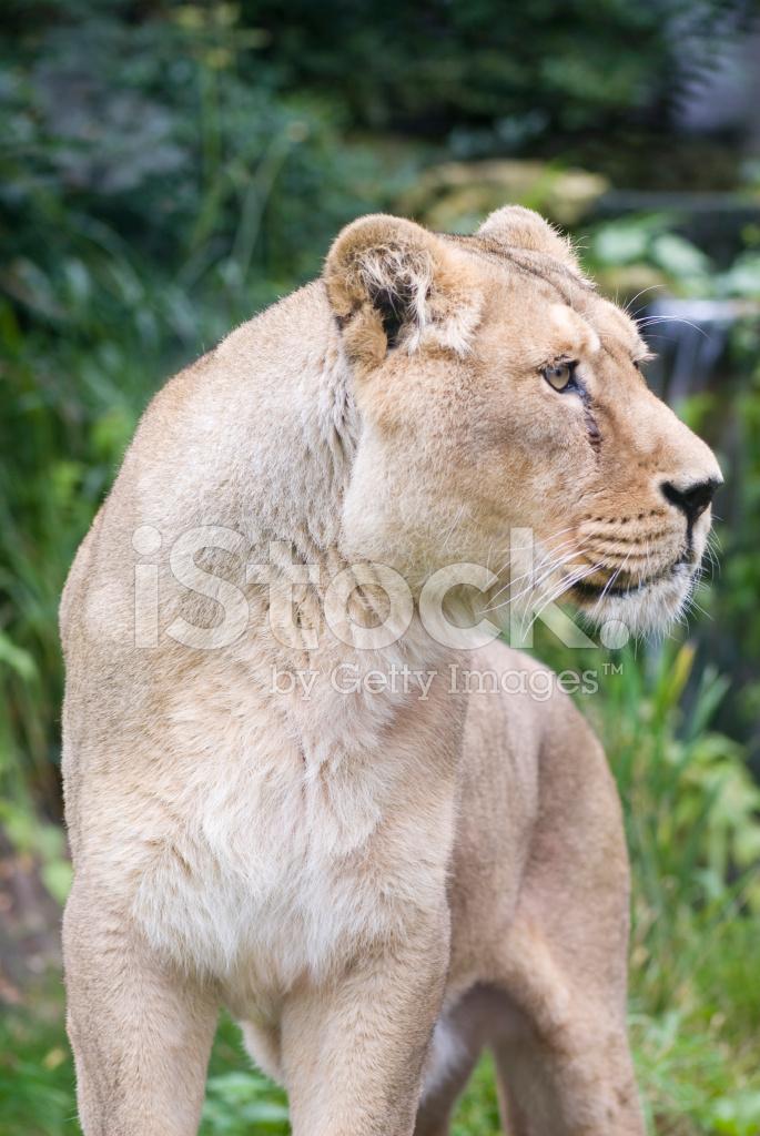 Lioness Front View lioness front profile ...