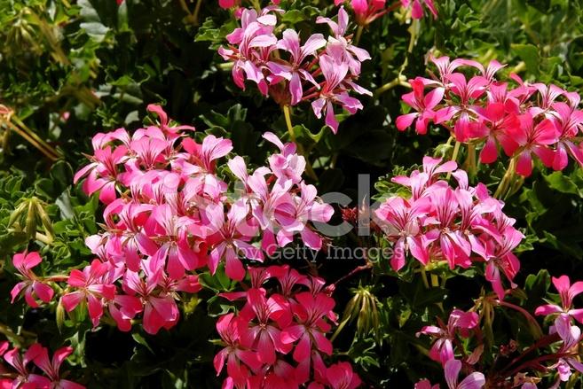 Pianta di geranio rampicante con fiori rosa fotografie stock
