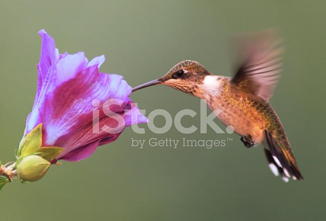 Kolibri Mit Hibiskus Blüten Stockfotos Freeimagescom