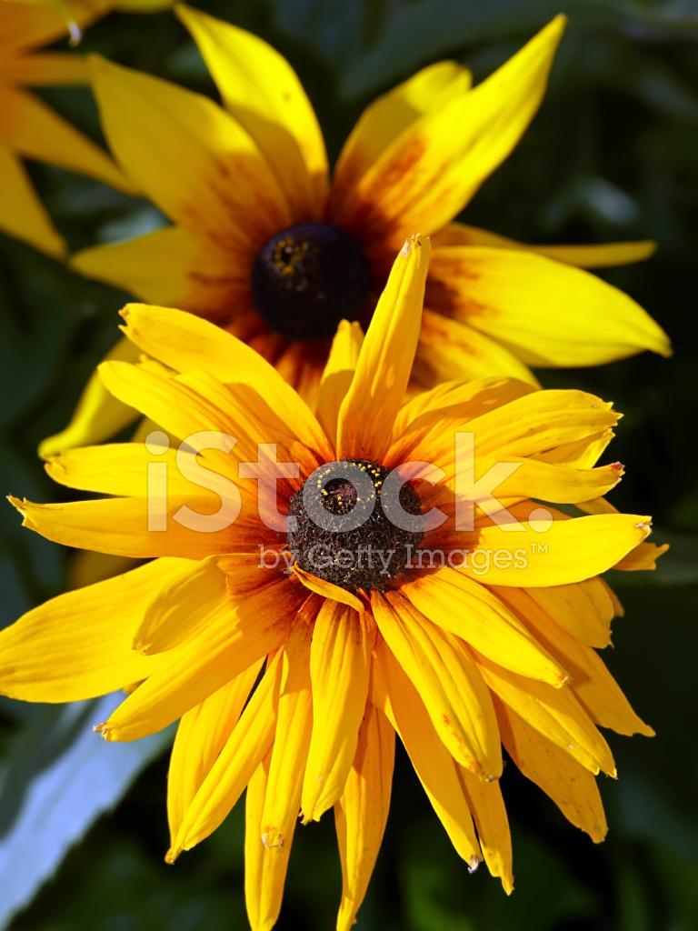 Gardens Daisy Like Flower Stock Photos Freeimages