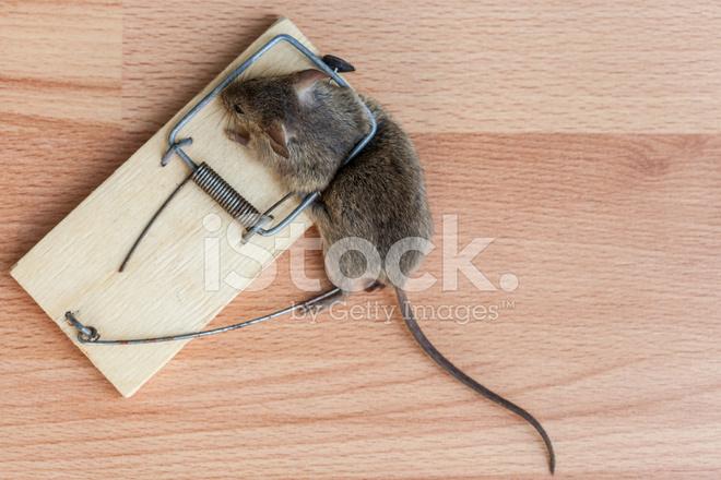 Rat n muerto en una trampa para ratones fotograf as de stock - Trampas de ratones ...