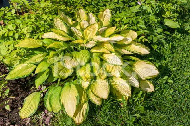 Hosta With Yellow Leaves In The Garden Stock Photos Freeimagescom