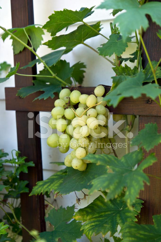 Wine grapes in the garden stock photos - Grey gardens dive per sempre ...