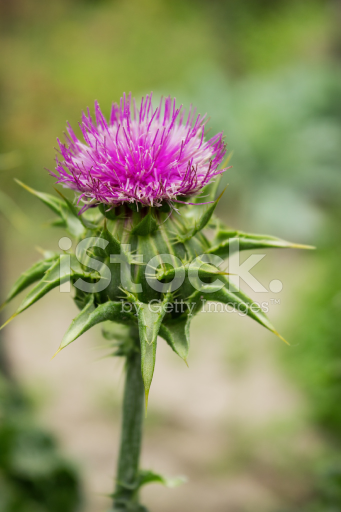 Flower Of Thorny Plant Silybum Marianum In August Stock