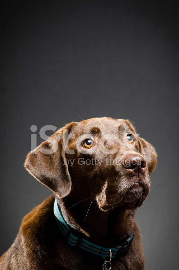 Beautiful Chocolate Lab Stock Photos Freeimages Com