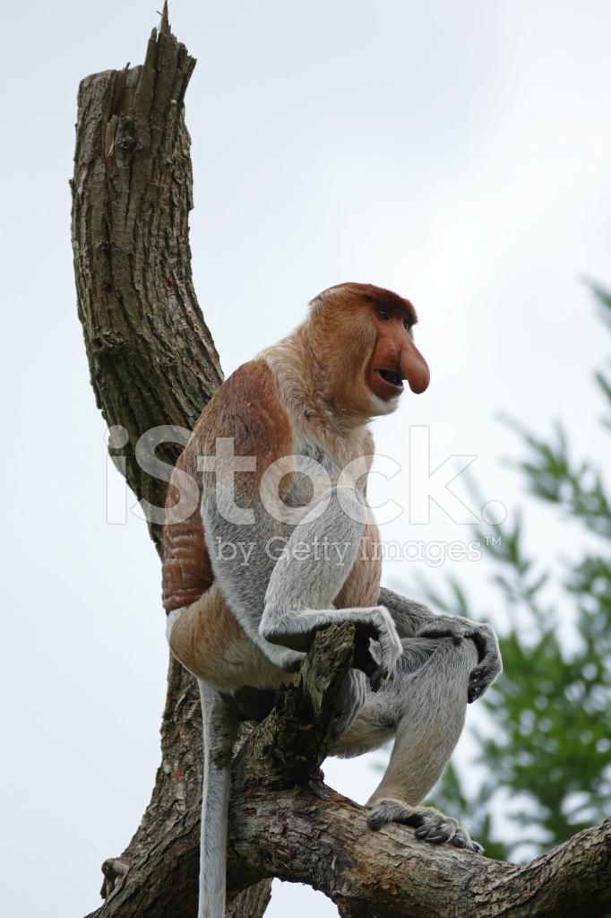 Proboscide o scimmia dal naso lungo fotografie stock freeimages.com