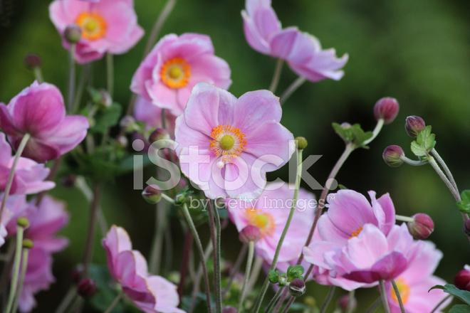 17 Japanese Flower Meanings  Japan Talk