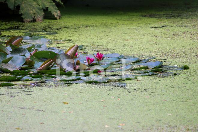 Image DU Bassin DE Jardin Ombragé, Négligée, Couvert DE Lentilles D ...