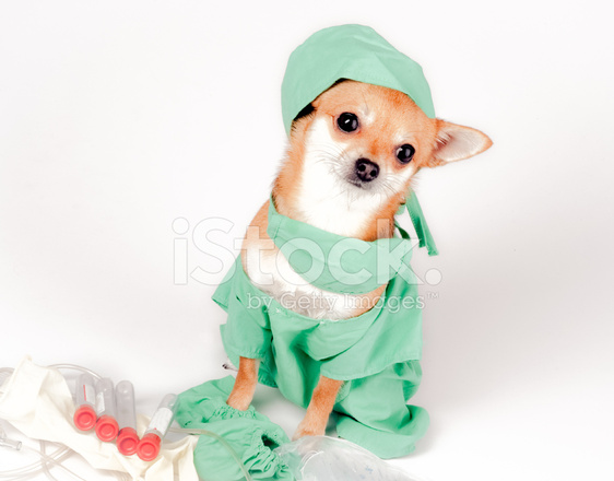 Chihuahua Dog Dressed IN Scrubs AS Doctor for Halloween ...