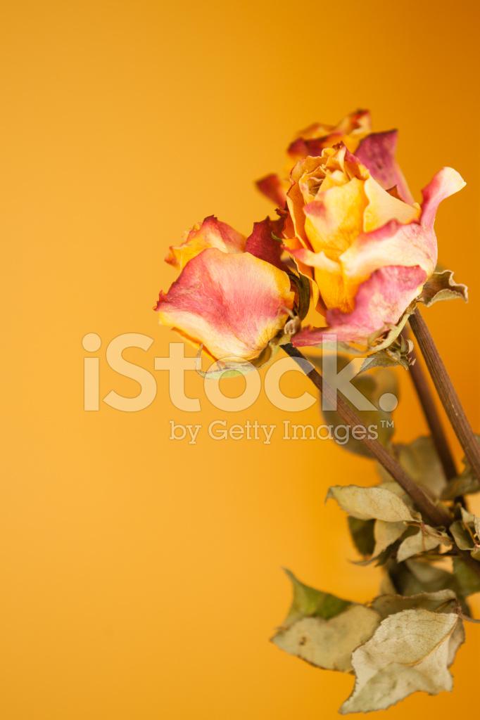 Secas Vermelhas Rosas Amarelas Sobre Fundo De Parede Laranja Fotos