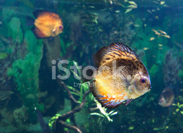 Exotic Tropical Fish Stock Photos Freeimages Com
