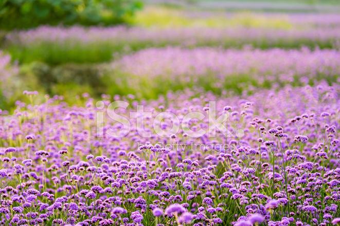 Фото поля фиолетовых цветов