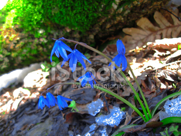 Premier Printemps Fleurs Qui Poussent Dans La Foret Photos