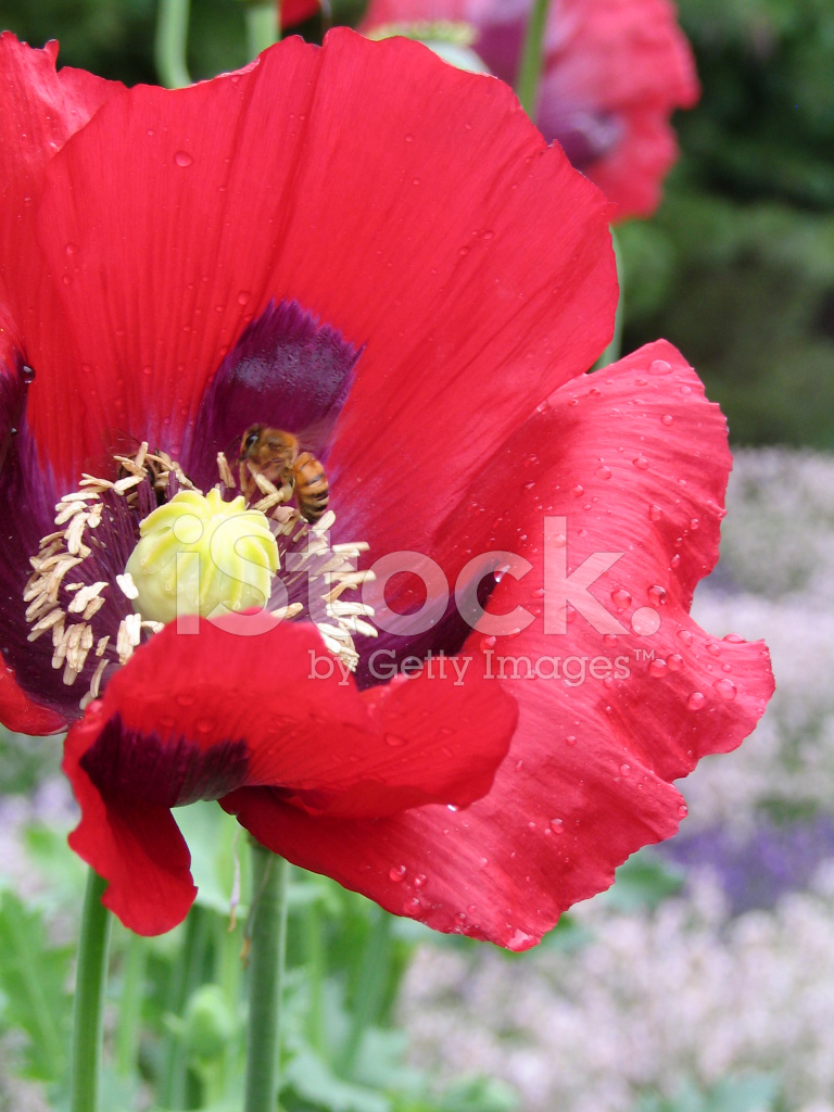 Red Poppy After The Rain Stock Photos Freeimages