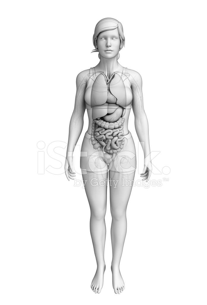 Verdauungssystem Der Weiblichen Anatomie Stockfotos - FreeImages.com