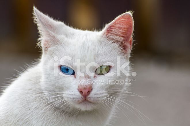 Gatto bianco con occhi diversi fotografie stock for Gatti con occhi diversi