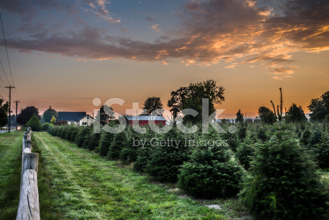 Christmas tree farm in morning sunrise stock photos freeimages