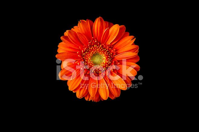 flor gerbera vermelha em fundo preto fotos do acervo freeimages com