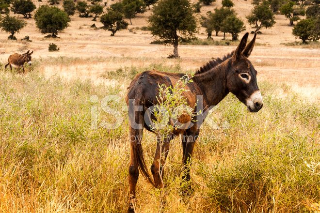 the brown burro and nature Download this stock image: young wild burro (donkey) (equus asinus) (equus africanus asinus), custer state park, south dakota, usa - d6k4t5 from alamy's library of millions of high resolution stock photos, illustrations and vectors.