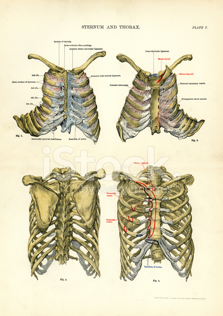 Human Anatomy Sternum And Thorax Stock Vector Freeimages