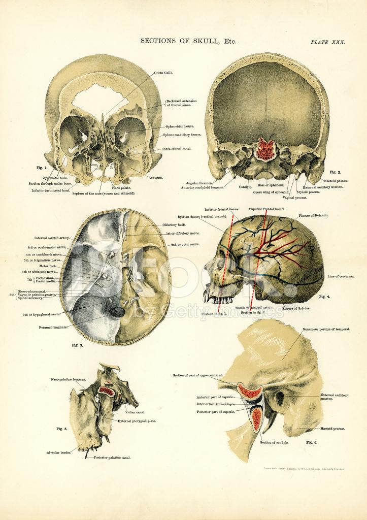 Anatomía Humana Secciones Del Cráneo Stock Vector - FreeImages.com
