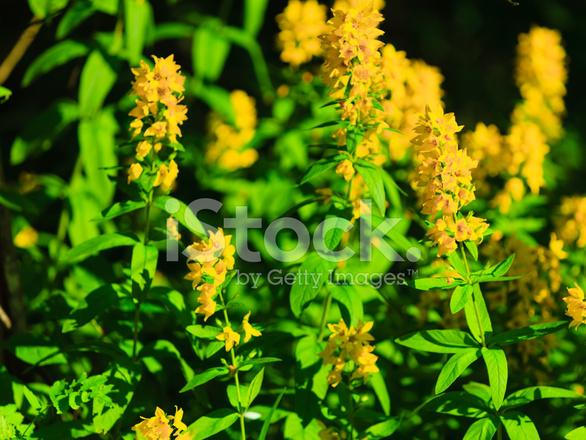Primer Plano De Las Flores Amarillas Del Flores Silvestres En Bosque