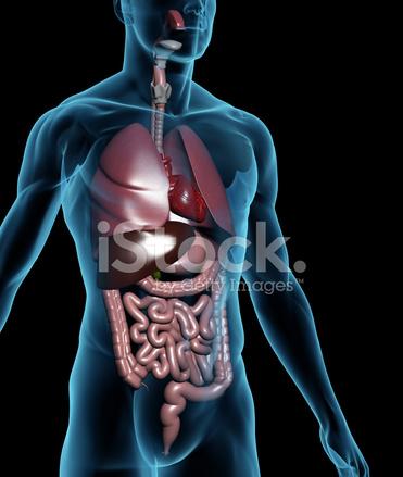 Menschlichen Körper MIT Inneren Organen Stockfotos - FreeImages.com
